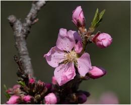 Peach Tree is Blooming