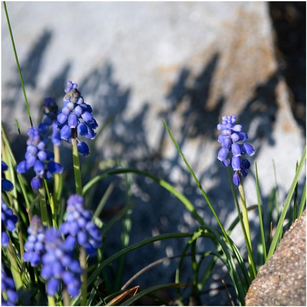 Shadows:  Grape Hyacinths by taggart
