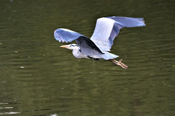 Heron in flight by olmeister6
