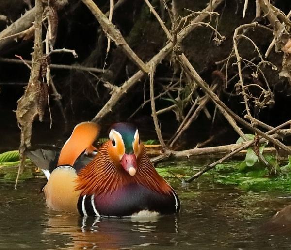 Mandarin duck by Oldstoat