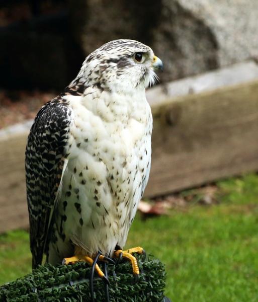 Captive Falcon by mikekay