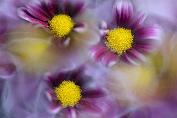 Daisy mix by pixel_Painter