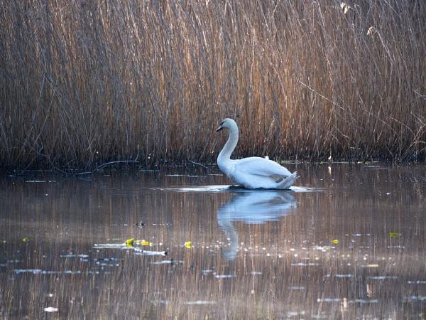swan by alfpics