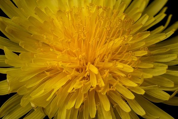 Dandelion by kip55