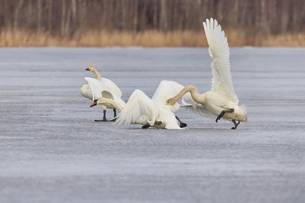 Whooper swans in Espoo 2 by hannukon