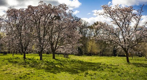 Cherry Blossom Glade by Janetdinah