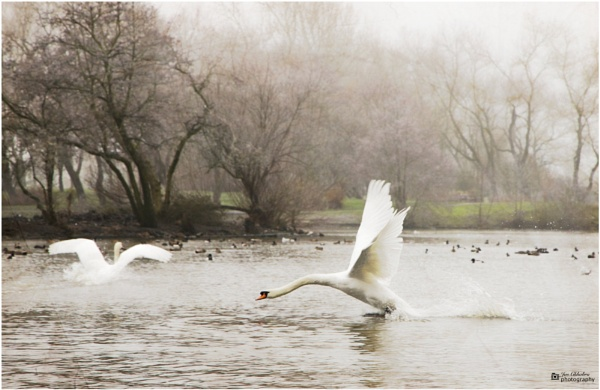 Wild \'goose\' chase by Jas2