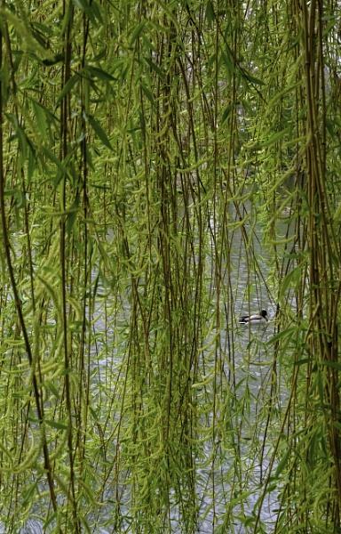 Peeking duck by OverthehillPhil