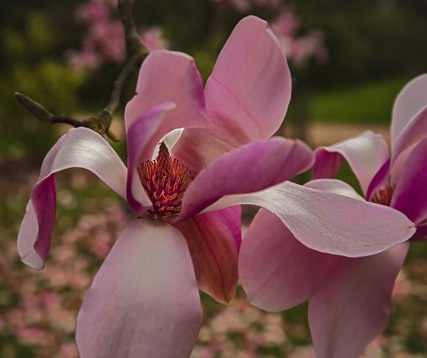 Magnolia - Westonbirt by VincentChristopher