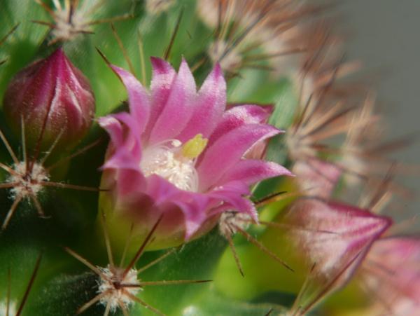 Blossoming Cactus by Kurczewskit