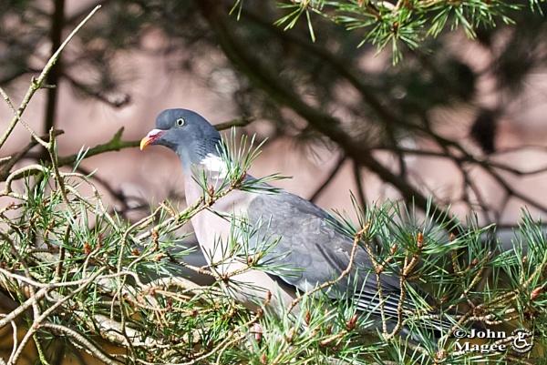 Wood Pigeon 1 by Jmag60