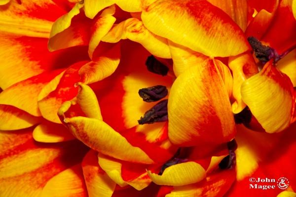 Fiery Tulip by Jmag60