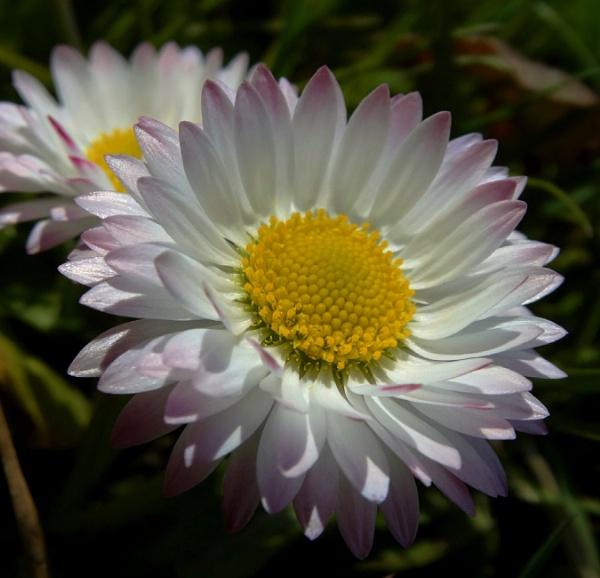beauty ... daisy by elousteve