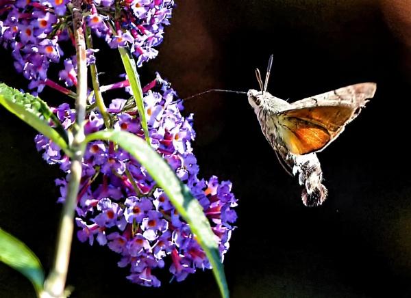 Hummingbird Hawk-moth by Ffynnoncadno