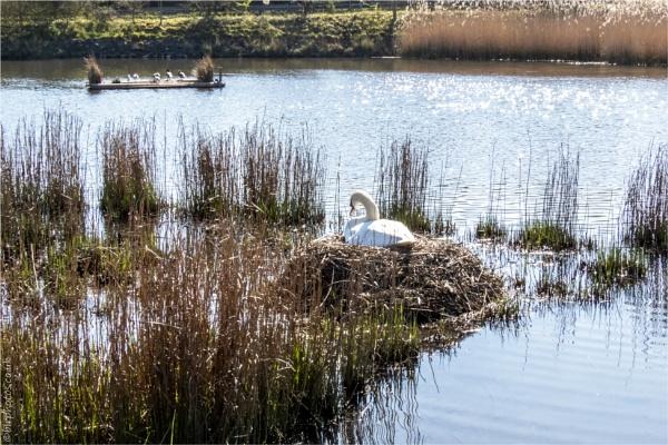 Swan Nest by blrphotos