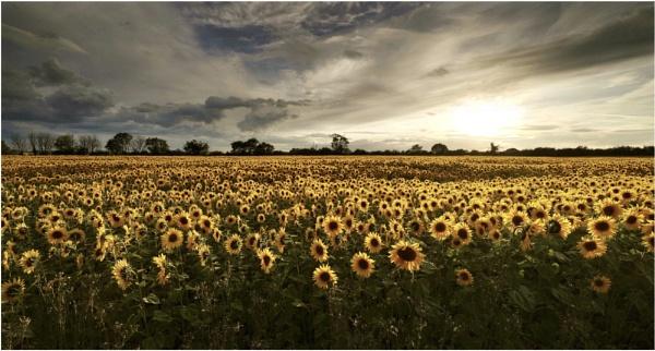 Field of sunshine by Carlos9