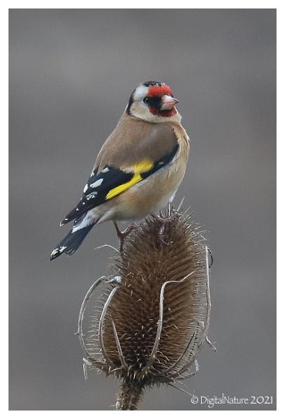 Goldfinch by Norfolkboy