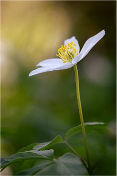 14/52: Evening Anemone