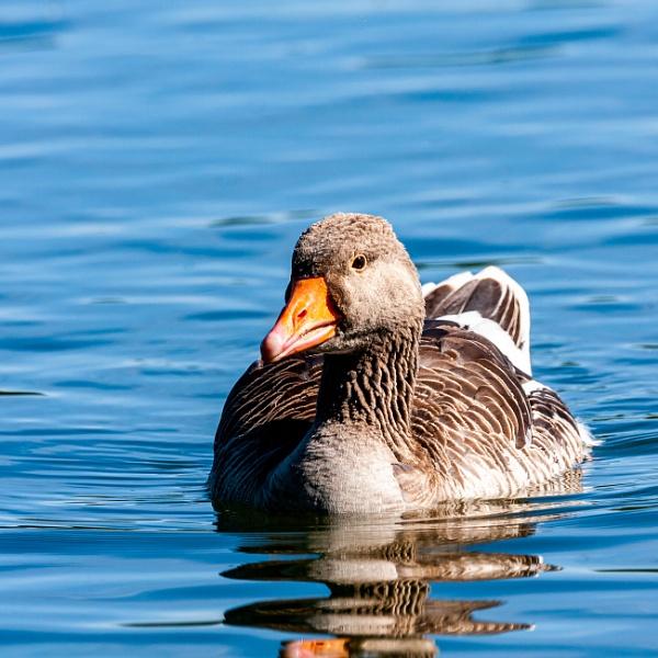 Greylag Goose, Hogganfield Loch by flatfoot471
