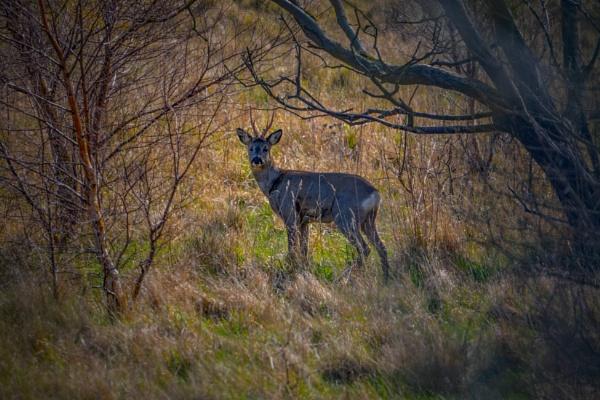 Greatham Creek Deer. by terra