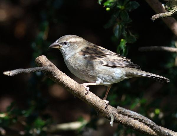 House sparrow by oldgreyheron