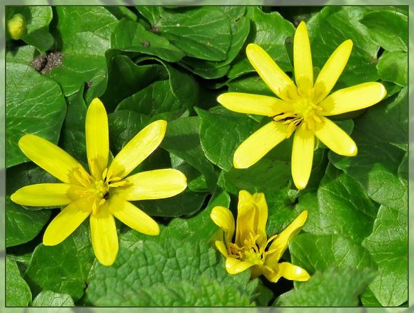Spring Celandine by Sylviwhalley