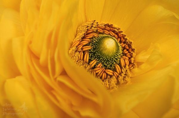 Ranunculus close up by Angi_Wallace
