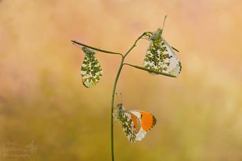 Orange tip butterflies