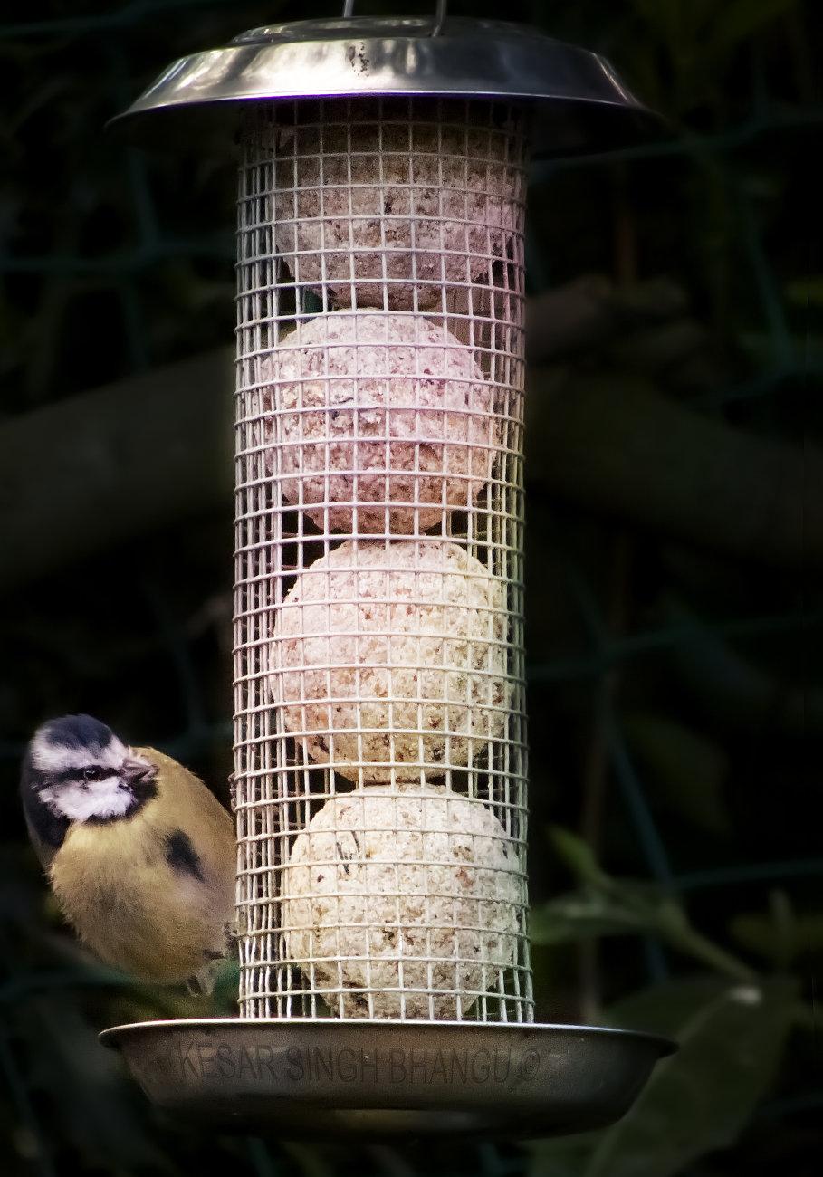 Blue tit on feeder.