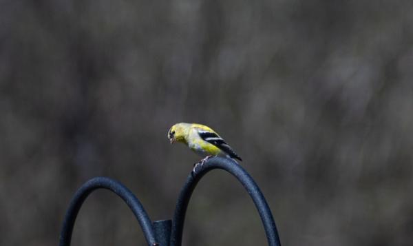 Goldfinch by Merlin_k