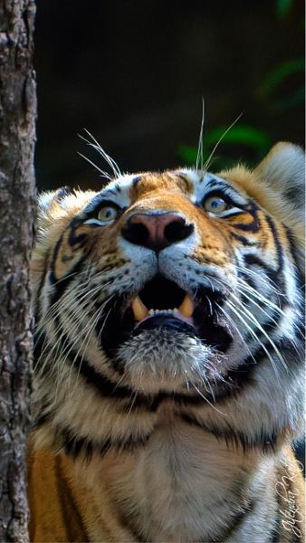 Big male tiger in Ranthambore by drjskatre