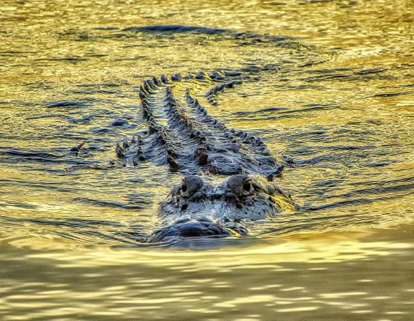Approaching alligator by jbsaladino
