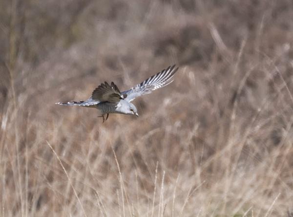 Cuckoo by jasonrwl