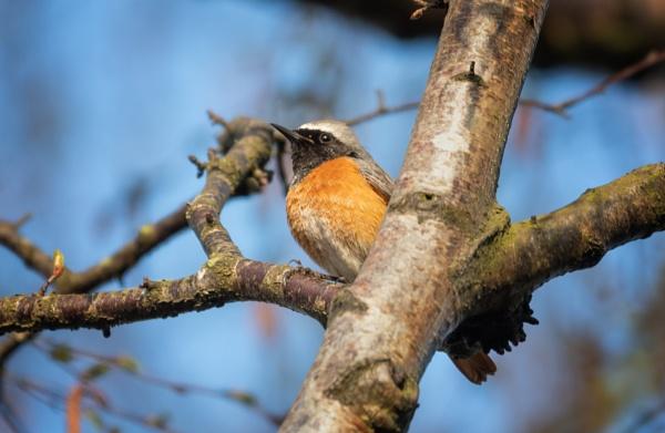 Redstart by jasonrwl