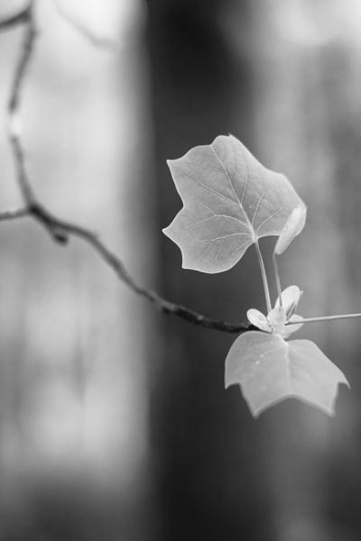 Spring leaves by mlseawell