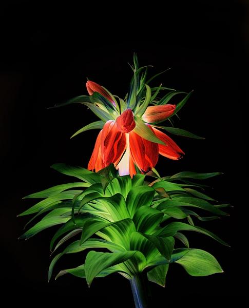 Fritillaria by Dallachy