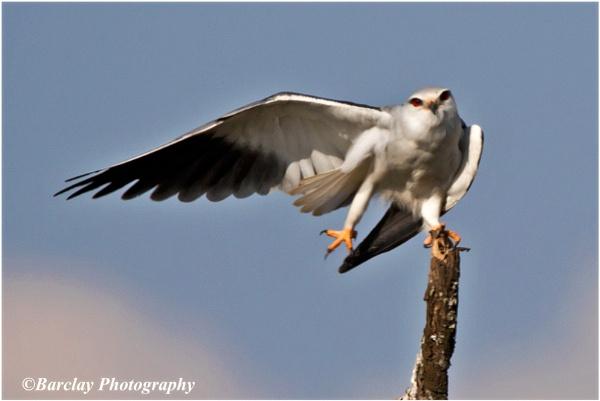 Black winged Kite pre flight check by fatfranksfolley