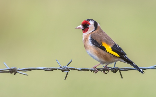 Goldfinch on Barb (Different One) by BydoR9