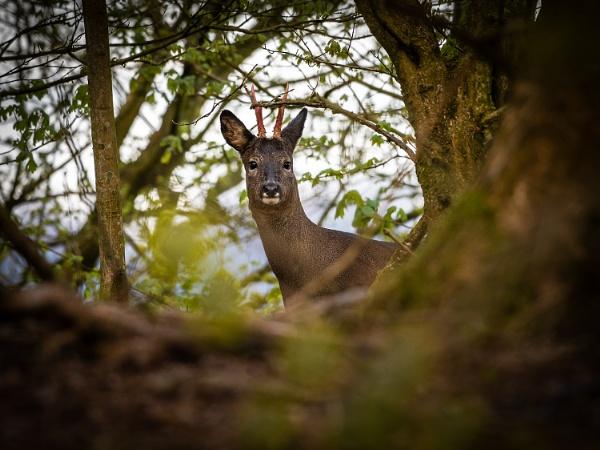 Peeping Deer by BydoR9