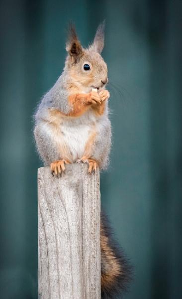 Squirrel by Jukka