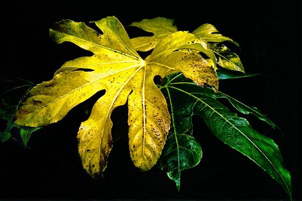 Fatsia Leaves by akh