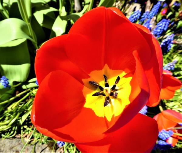 tulip by jenny007