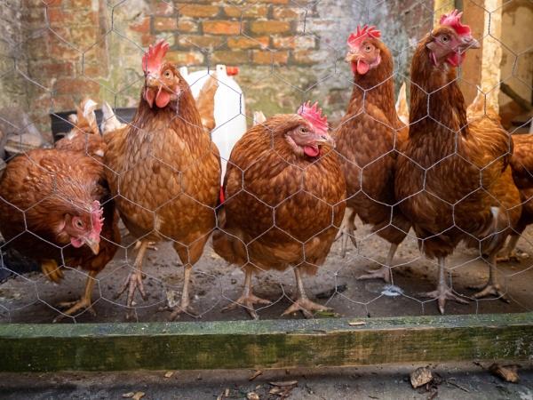 Chickens by victorburnside