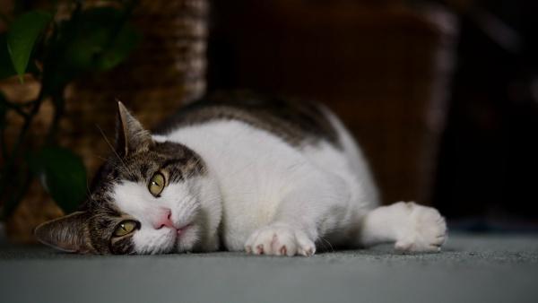 Tabby Cat by victorburnside