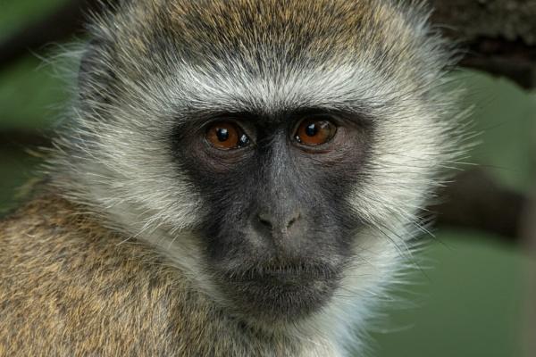 Monkey Face by NickDale