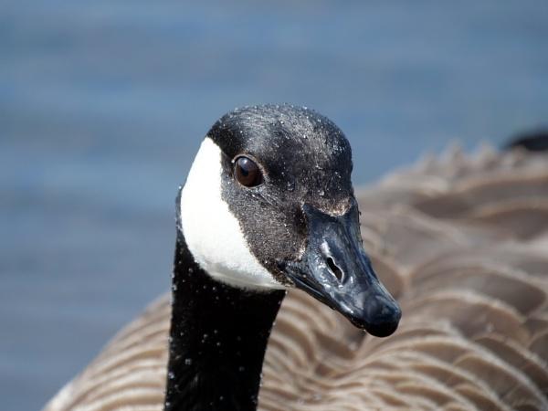 Canada Goose by DerekHollis