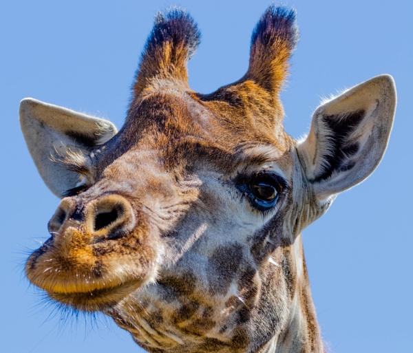 Giraffe by Lainey39