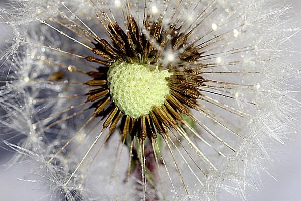 Heart of the dandelion by martininbg
