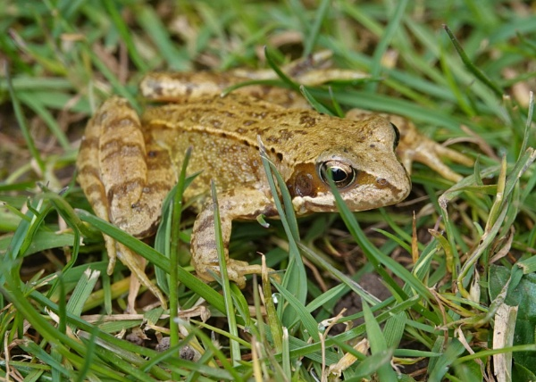 Frog in the grass by frogs123
