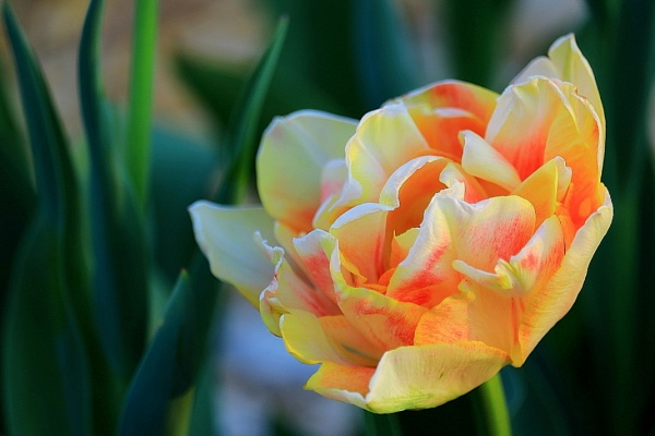 This Was In A Tulip Garden. ???? by Tonytee